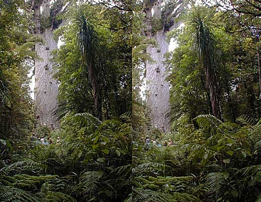 Tane Mahuta, the biggest Kauri Tree, in X stereo